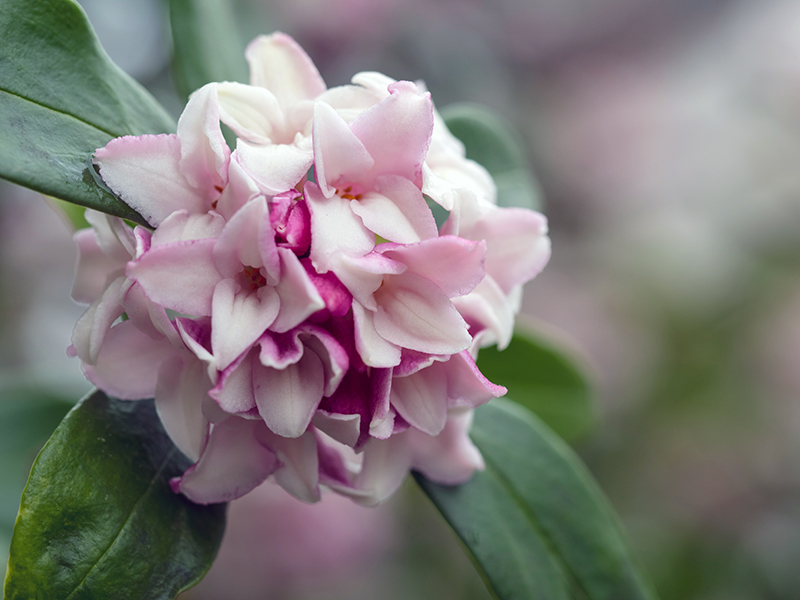 Flower of Sweet-smelling daphne in the early spring