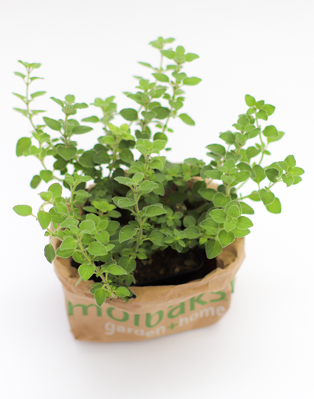 Origanum vulgare Hot n' Spicy Oregano 4""