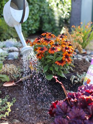 Watering in after Planting Fall Bulbs