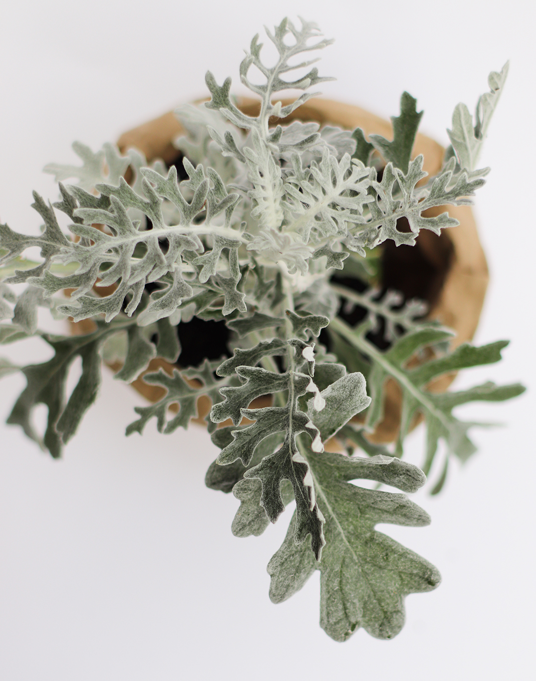Dusty Miller 'Silver Dust' 4""