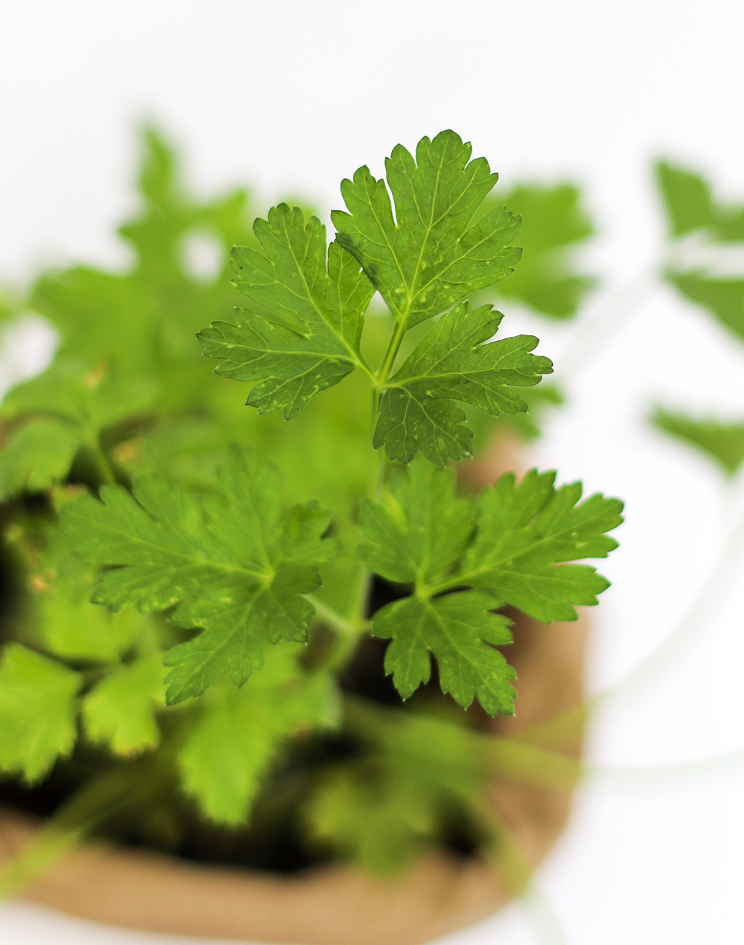 Italian Flat Parsley Petroselinum crispum
