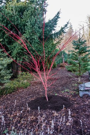 Mulch around tree for winter protection.