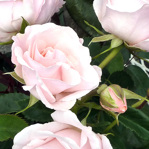 Rose Pruning and Planting Workshop at Molbak's