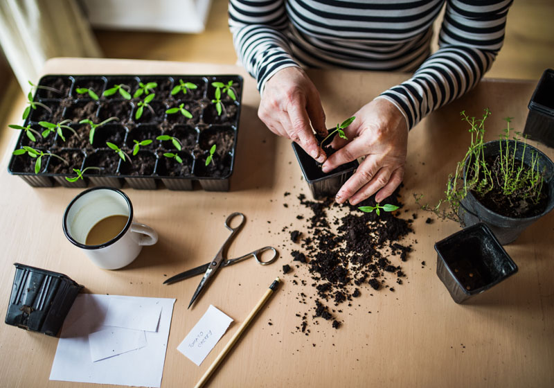 Transferring seedlings into larger pots