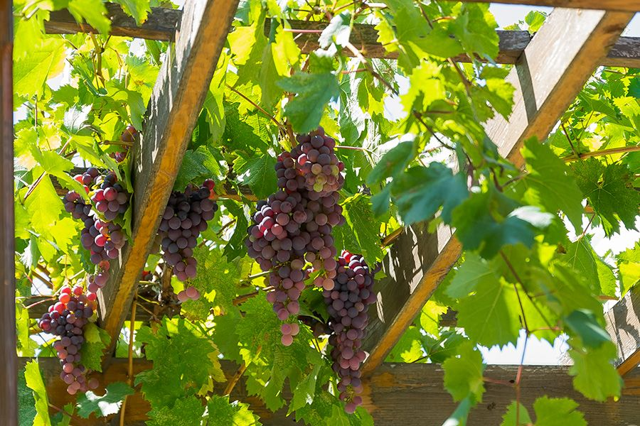 Grapes - Fruits and Berries - Molbak's Garden + Home