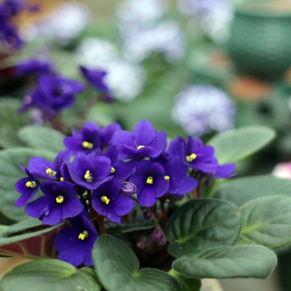 Purple African Violets at Molbak's