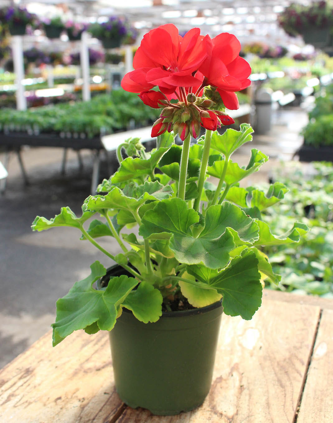 American Dark Red Zonal Geranium in the nursery blooming