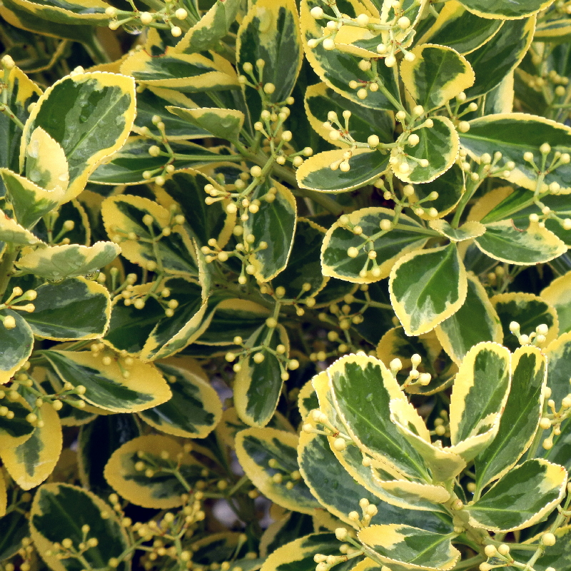 Green and cream leaves of Euonymus Chollipo