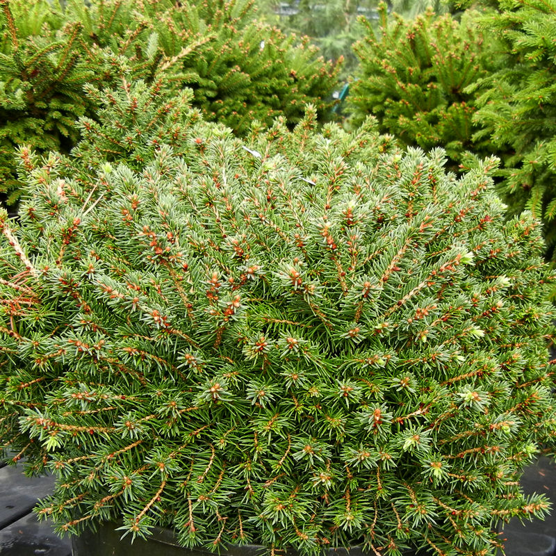 Mounding Spruce called little gem slow growing