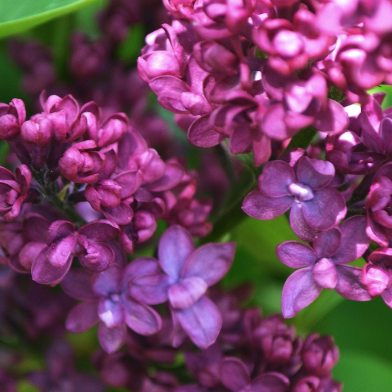 Purple lilac flowers close up