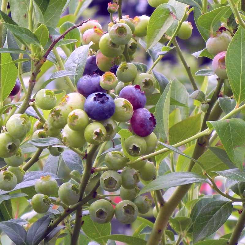 Blueberries in different stages of ripeness on a Blueberry 'Reka' bush