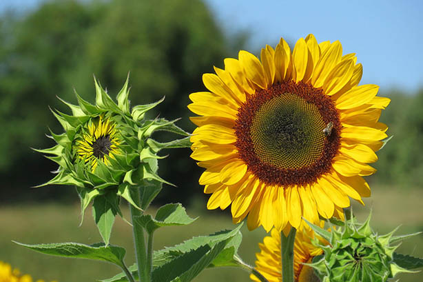 Sunflower at the Pea Patch