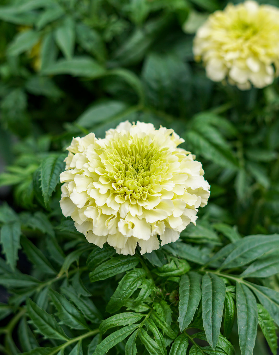 Marigold 'Perfection Vanilla'