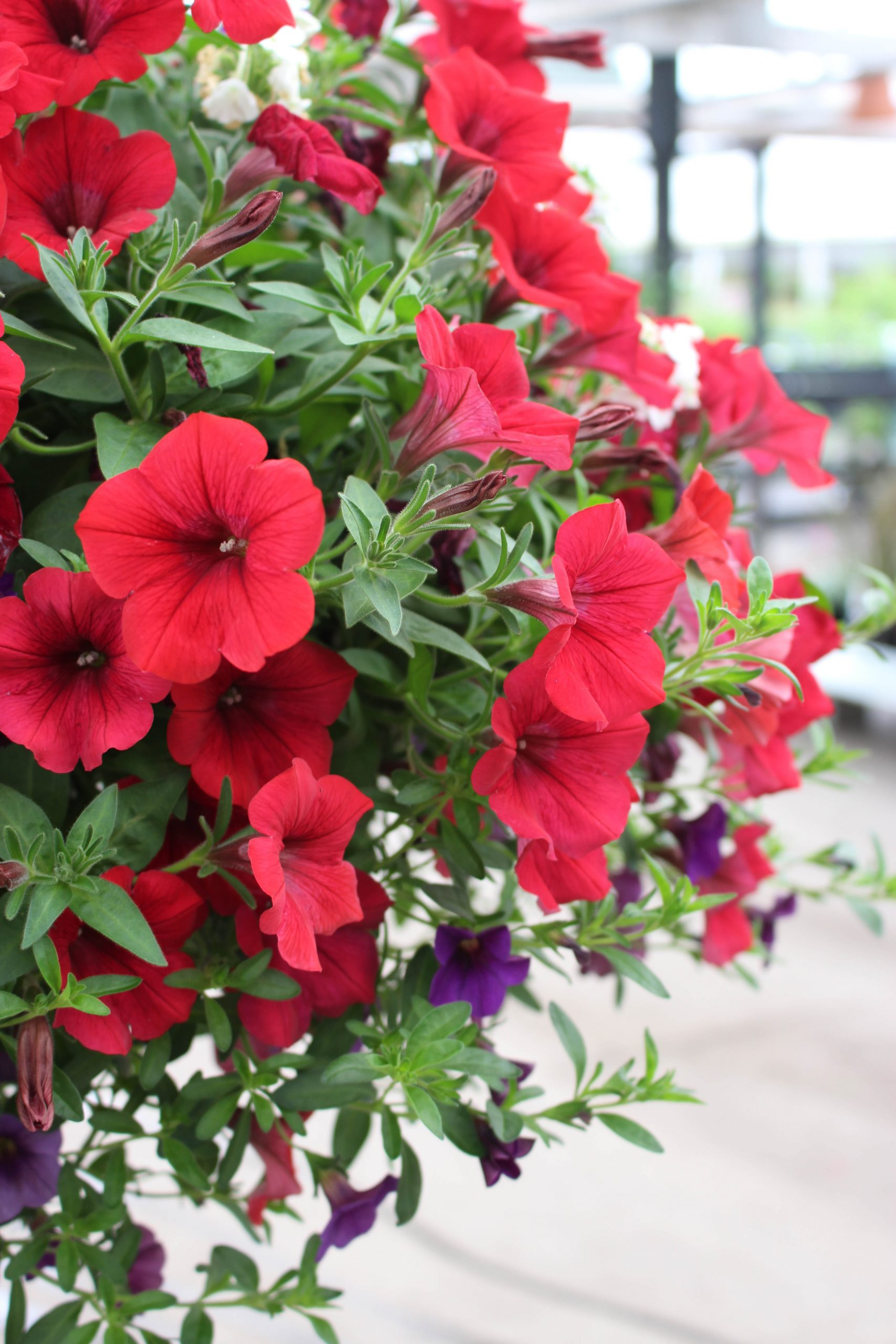 Petunia Flowers in Hanging Basket