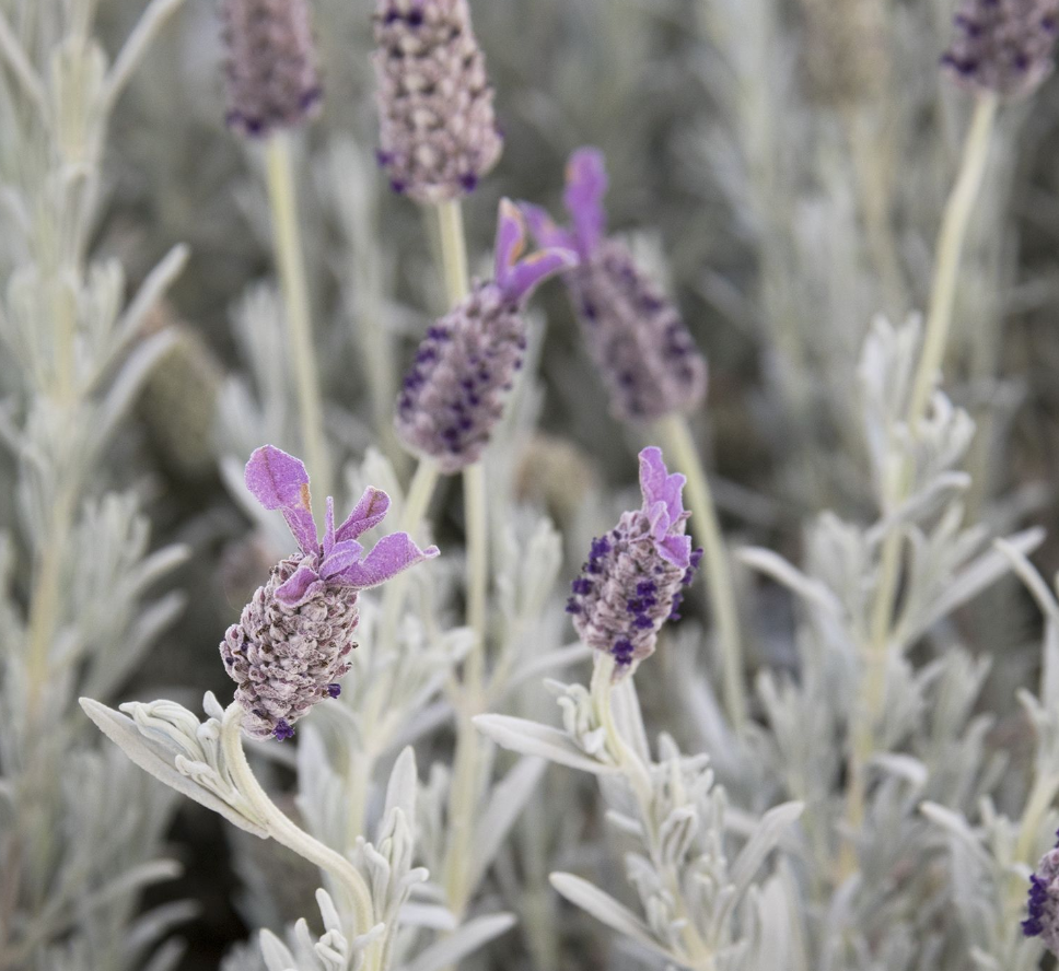 Lavender Plant with silver leaves and purple flowers