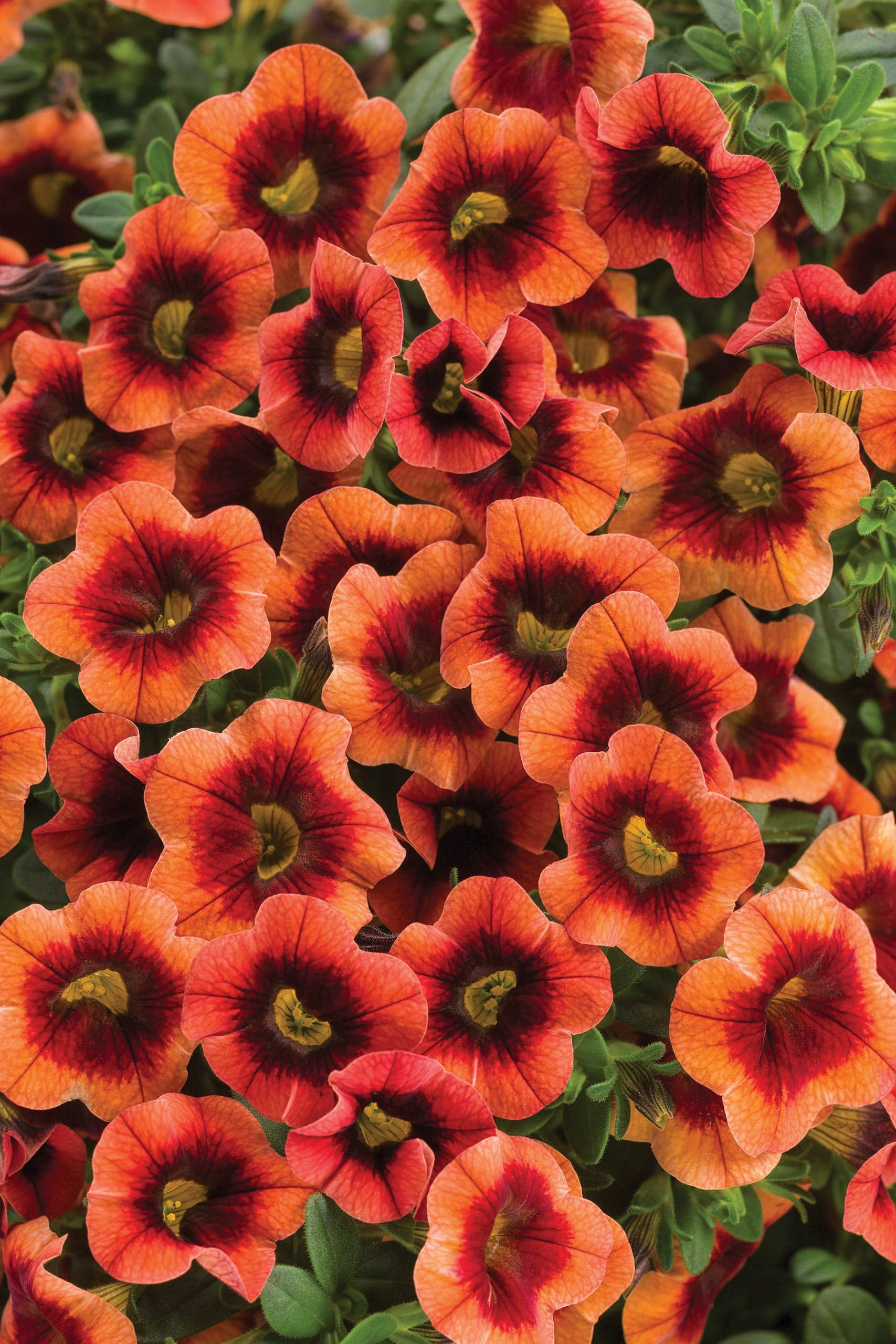 Superbells® Tangerine Punch™ Calibrachoa