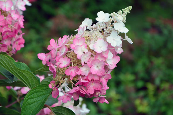 Hydrangea panicle with white and pink flowers in the garden