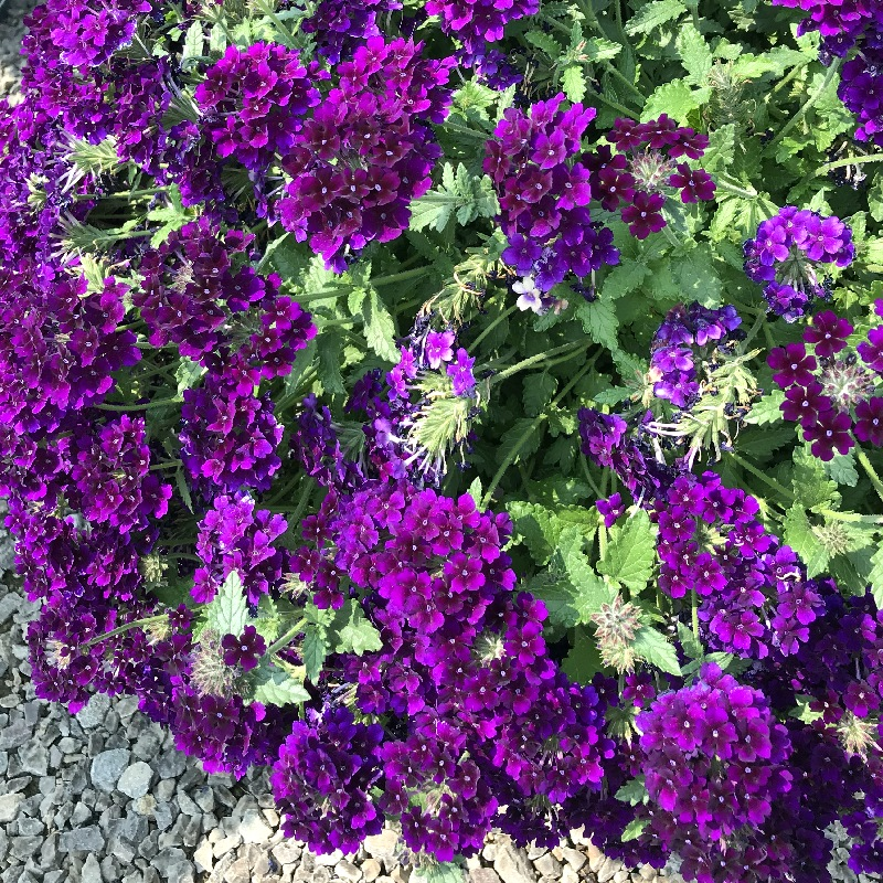 Verbena with purple flowers