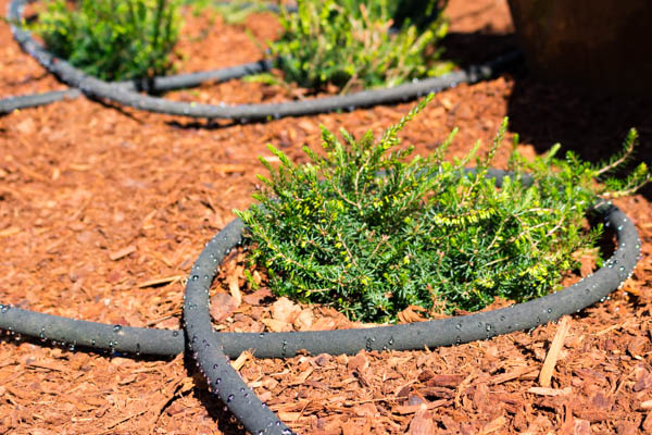 Conserve water with a soaker hose around your plants.