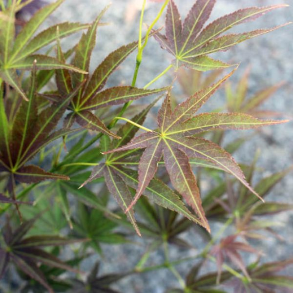 Outdoor Plants - Maples at Molbak's