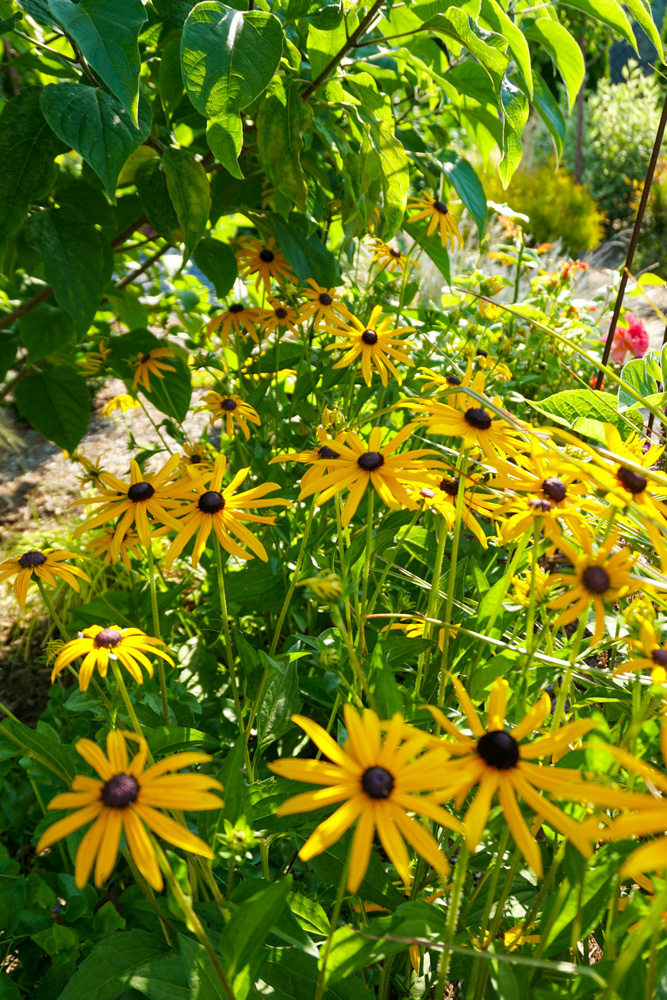 Black-eyed Susan's are favorites of bees.