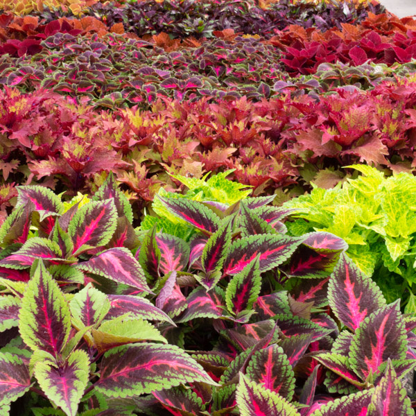 A rainbow of Coleus colors - from greens to browns to pinks. A fast growing summer annual.