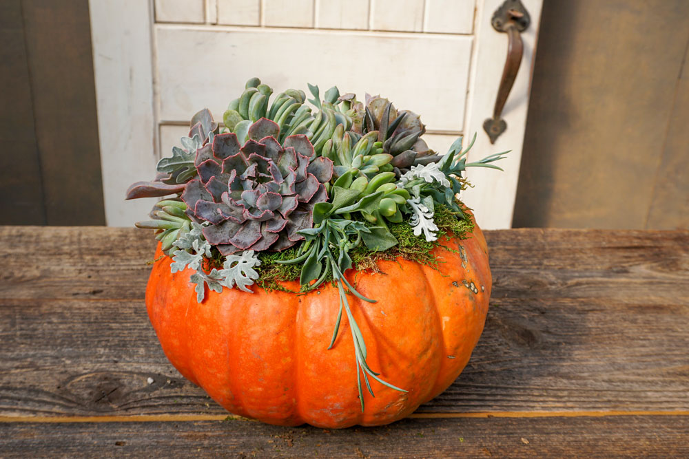 Succulent punpkin ready for your porch or table
