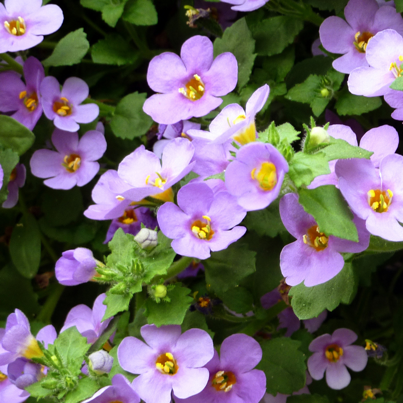 Purple/Pink flowers of Bacopa