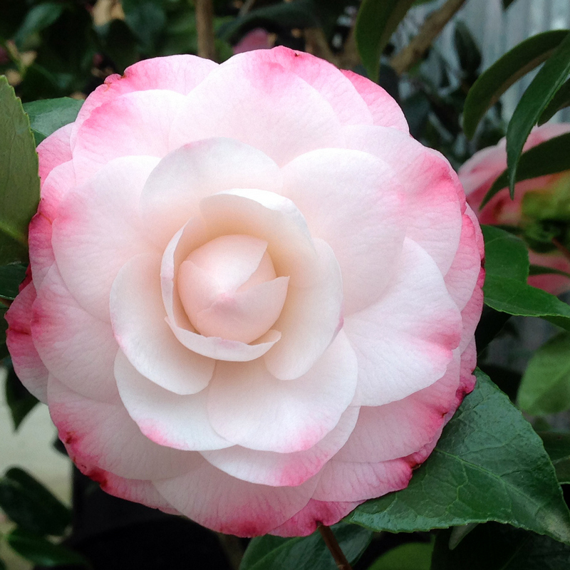 camellia Nuccio's Pearl - a double white flower with pink edges