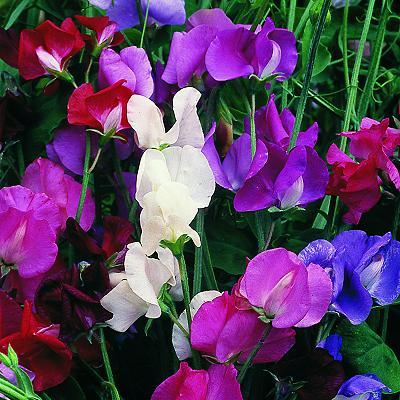 Pink, Violet, purple and White sweet pea flowers