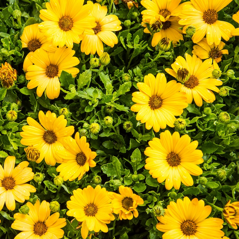 African Daisy Deep Yellow Flowers