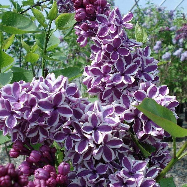 Syringa Sansation Lilac flower purple and white