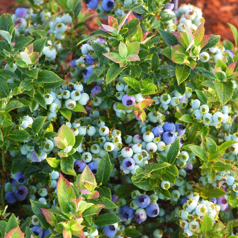 Jelly Bean Blueberry Bush with ripening blueberries
