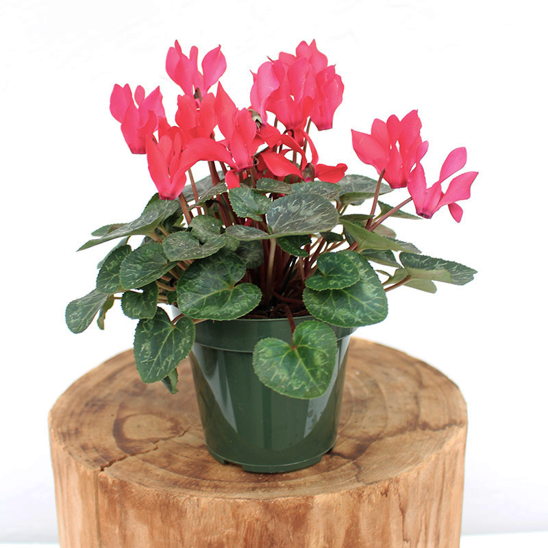Cyclamen Mini Scarlett