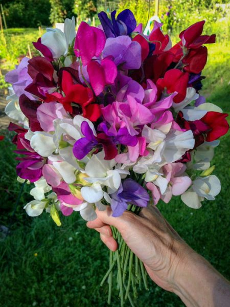 hand holding a bunch of sweet peas