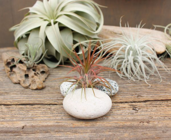 types of tillandsia
