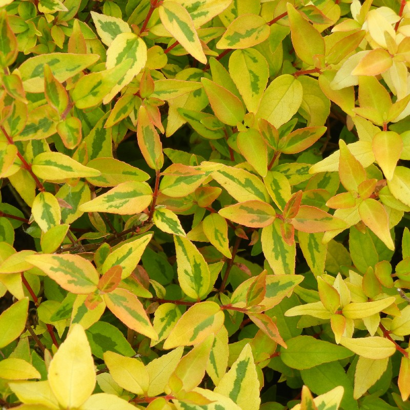 Yellow and lime leaves of the Abelia x 'Kaleidoscope'