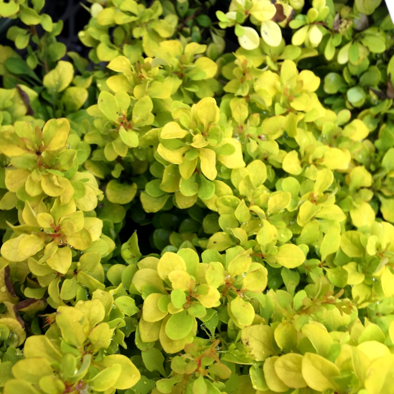 Barberry Golden Nugget