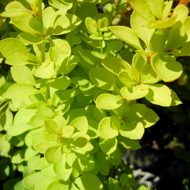 Bright Chartruce Leaves of the Barberry Golden Rocket
