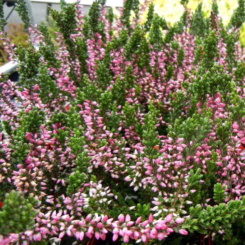 pink flowers of the Heather 'Susanne'