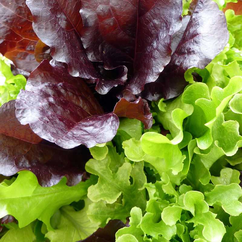 Lettuce - Lettuce 'Red Oakleaf', Pack