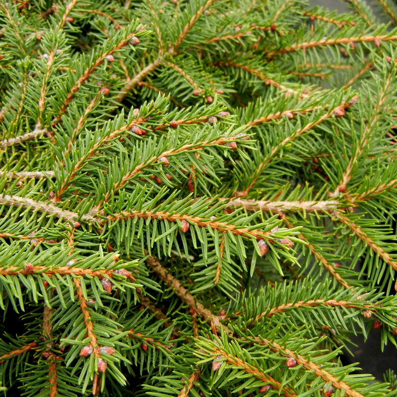 Norway Spruce - 3G