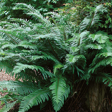 Large green fronds of the Western Sword Fern in a woodland setting