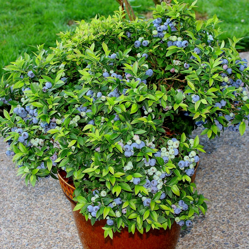 A Top Hat Blueberry Bush in a container