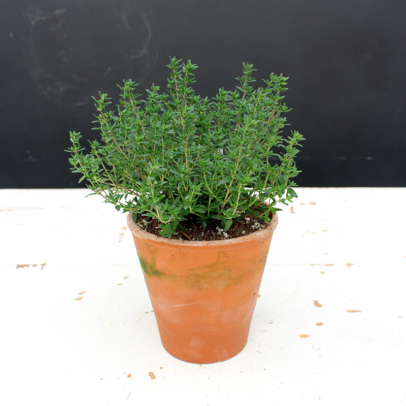 Thyme Clay Pot
